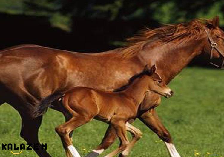 بهترین نژاد اسب ها