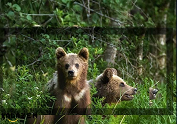خرس گریزلی قوی ترین و وحشی ترین حیوان جهان