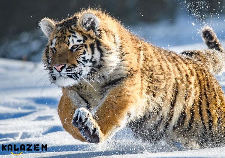 ببر وحشی ترین و قوی ترین حیوان جهان و دنیا