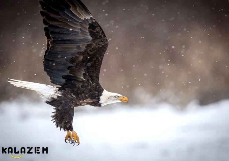 عقاب قوی ترین و سریعترین حیوان جهان